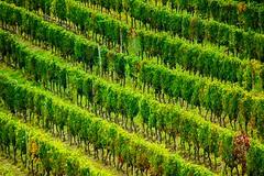 Soldatini in fila (Gianni Armano) Tags: soldatini fila vigneti maranzana uva barbera settembre 2016 monferrato colori diagonale foto gianni armano photo flickr