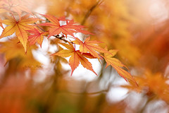 Autumn Colours (Jacky Parker Floral Art) Tags: acerpalmatum japanesemapleleaves autumn2016 fall2016 fallcolors closeup macro selectivefocus focusonforeground horizontalformat outdoors newseason nopeople colourful vibrant freshness fragility glow reds yellows golden foliage leaves naturephotography beautyinnature fineart macrophotography nikond750 uk