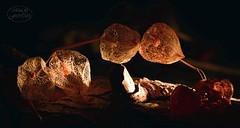 The days get darker (MaiGoede) Tags: lampionblume wildeblasenkirsche butjadingen flora japaneselantern physalisalkekengi solanales nachtschattenartige belichtung fedderwardersiel wesermarsch nikon makro macro solanaceae nachtschattengewchse golden