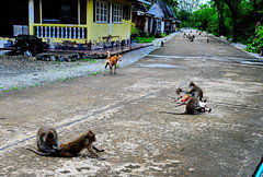 ,, Gauntlet ,, (Jon in Thailand) Tags: mama dog k9 monkeys primates road streetphotographyjunglestyle junglestylestreetphotography wildlifephotography jungle decayingbuildings yellow blue green nikon nikkor d300 175528 trees cementroad red tail ears swamp wildlife littledoglaughedstories