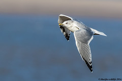 common as muck (blackfox wildlife and nature imaging) Tags: canon 80d sigma150600mmossport handheld commongull bif greenfield deeestuary wales wildlife seabirds