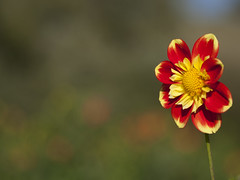 Moment de dlice -* (Titole) Tags: flower dahlia titole nicolefaton right yellow shallowdof thechallengefactory