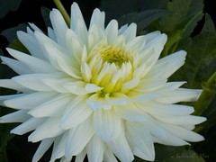 """""""Sincerity is the way to heaven"""" Mencius (NaturewithMar) Tags: dahlia white macro blossoms flower plant"""