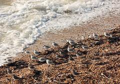 Sanderling, Dunlin and Ringed Plover! (RiverCrouchWalker) Tags: dunlin sanderling ringedplover waders beach sea shoeburyness essex coast october 2016 autumn calidrisalba pebbles calidrisalpina charadriushiaticula