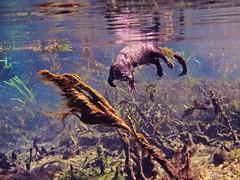River Otter Odd Encounter (Phil's 1stPix) Tags: lontracanadensis taxonomy:binomial=lontracanadensis northamericanriverotter floridariverotter commonriverotter mustelid floridamammal otterunderwater underwaterotterphotograph northamericanriverotterunderwater riverotterdiving underwaterotter floridasprings wildflorida floridaecosystem floridasnorkeling floridaspringssnorkeling ocalanationalforest alexandersprings alexanderspringsrecreationarea nationalforest usnationalforest lakecountyflorida centralfloridarecreation centralfloridasprings floridanature floridawildlife realflorida naturalecosystem geotag geotagged phils1stpix firstpix lightroom5 adobelightroom5 photoscape creativecommonsnature floridaspringecosystem fishbehavior floridaspring nature naturephotography freshwaterspring naturalfloridaspring naturalflorida wildlife olympusunderwater underwaterflorida olympusem5 floridastatepark unitedstates usa underwatercamera floridaspringsunderwater underwater snorkel dive floridaunderwater olympusunderwaterhousing olympusunderwatercamera omdem5 olympus1442mmiilens ptep08underwaterhousing ppoep01lensport ottercloseup otterinteraction floridaotterunderwater