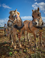 DSC05781 (Andy Oldster) Tags: eashing godalming farm plough ploughing heavyhorses shire sony alpha a65 slt