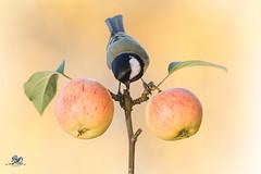 apple harmonics (Geert Weggen) Tags: nature animal perennial closeup cute plant funny happy summer ground spring bright light branch yellow bird tit titmouse fruit food apple geert weggen hardeko ilobsterit sweden jmtland bispgrden ragunda
