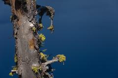 19476-fruticose lichen (oliver.dodd) Tags: craterlake oregon moss lichen wood deadwood fruticoselichen