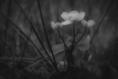 *** (pszcz9) Tags: polska poland przyroda nature kwiat flower zblienie closeup wiosna spring beautifulearth sony a77 bw blackandwhite monochrome czarnobiae bokeh