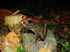 Giant Barred Frog (Mixophyes iteratus) (Frogging Around) Tags: giantbarredfrog mixophyesiteratus seq cooroy endangered sunshinecoast jonohooper