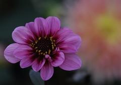 Flowers, Kline Creek Farm. 6 (EOS) (Mega-Magpie) Tags: canon eos 60d nature outdoors lovely beautiful flowers flower kline creek farm west chicago dupage il illinois usa america purple