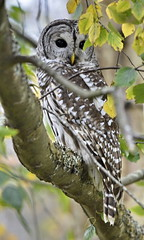 Barred Owl (glenbodie) Tags: glen bodie glenbodie dncb 201643 reifel barred owl