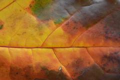 Flame leaf (Polya Photography) Tags: flame leaf leaves fall autumn seasons colors multicolor nature closeup macro ngc