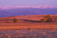 Morning[Explored] (BernieErnieJr) Tags: muledeerbuck colorado coloradowildlife wildlife sony70400mmg2 sonya77mkii frontrange greatphotographers teamsony rockymountains mountains snow wild rockymountianarsenalnationalwildliferefuge commercecity