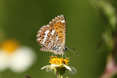 Canary Blue  Cyclirius webbianus (Roger Wasley) Tags: canaryblue cycliriuswebbianus butterfly butterflies endemic lapalma canaryislands spain spanish europe european