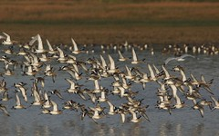 Barges  queue noire (Aves view) Tags: barge godwit limosa