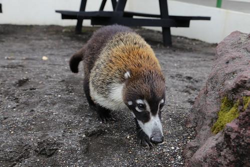 Curious coatis