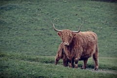 red highland cow (gravmichael@gmail.com) Tags: red green animal kuh cow farm explorer wiese explore highland longhorn grn bauernhof tier explored nutztier