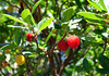 croatia  DSC00967 (Rolf Kamras) Tags: berries croatia dubrovnik babinkuk