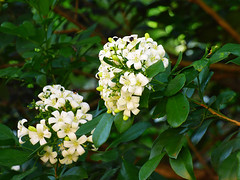 Murraya paniculata (Zélia Doneux Rebske) Tags: shrub whiteflowers murraya rutaceae murrayapaniculata