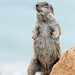 Barbary Ground Squirrel 1