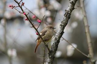 ジョウビタキ(メス)/Daurian Redstart(female)