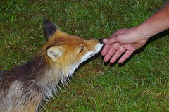 This is me and you..... (Kalsjon) Tags: nature wet hand sweden wildlife meeting fox trust jmtland redfox closeencounter meandyou feelyou