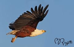 "African Fish-eagle ""Heading Out"" (girlslens) Tags: africa eagle botswana africanfisheagle okavangodelta vumbura"