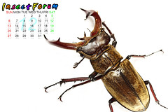 Beetle13 () Tags: insect beetle taiwan goliathus magasoma