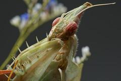 Idolomantis diabolica adult female (_papilio) Tags: macro mantis nikon invertebrate canonmpe65mm papilio mantid arthropod diabolica idolomantis sigma150mmapo d800e