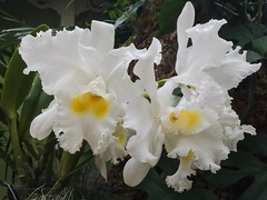 MoBot Orchid 2015-071 (wooferSTL) Tags: orchid orchids botanicalgarden orchidshow mobot