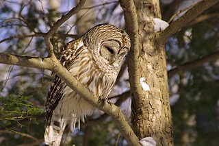 2015_0215Barred-Owl0012