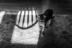 chair shadow (Jen MacNeill) Tags: light shadow blackandwhite bw pet animal cat carpet kitten thelittledoglaughednoiretblancet