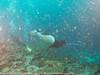 Manta birostris - Raie manta - Manta ray 13.jpg