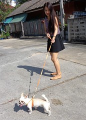 A dog walking a girl (rodeochiangmai) Tags: ladies dogs thailadies