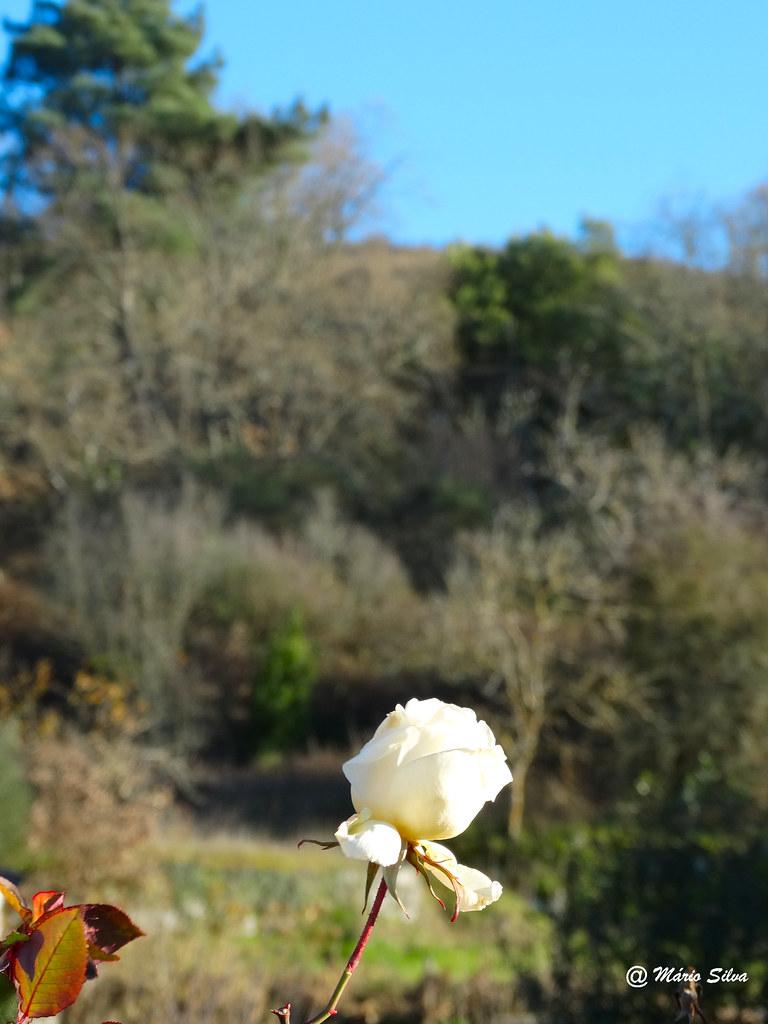 """Águas Frias (Chaves) - ... a rosa branca """"perdida"""" na livre Natureza ..."""
