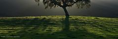 Gloria in excelsis (Vitor Estrela Santos) Tags: sun tree green nature sunrise beautifulpeople bolota beautifulnature azinheira fagaceae beautifulworld gloriainexcelsis quercusilexrotundifolia vitormes luckyorgood