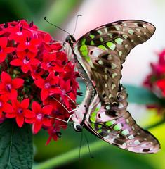 Up? or Down? (Pauline Brock) Tags: nature dilemma butterflyexhibit montrealbotanicalgardens flickrfriday butterfliesgofree papillonsenliberte espacepourlavie butterflymontreal