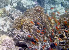 Lyretail Anthias (Chalto!) Tags: africa fish swimming swim underwater snorkel redsea egypt snorkeling snorkelling reef coralreef lyretailanthias