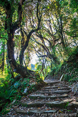 Lush Forest, Tadapani-Ghandruk, Annapurna Circuit, Nepal (Feng Wei Photography) Tags: travel nepal color green nature beautiful vertical forest landscape asia outdoor scenic np lush annapurnacircuit annapurna tadapani ghandruk bagmati westernregion annapurnaconservationarea ghanruk