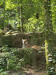 Nashville Zoo 08-27-2014 - Cougar 12 (David441491) Tags: zoo nashville puma cougar mountainlion