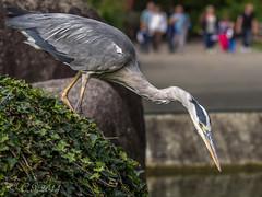 Grey Heron ( Germany ) (claudiaulrikegoodall) Tags: bird heron germany karlsruhe graureiher