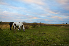 Dramatic Skies in the Pasture (Lorelei1992) Tags: blue horses horse orange green fall paint skies pasture quarter equestrian equine