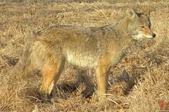 Canis latrans (Mark Kaletka) Tags: coyote trickster canislatrans