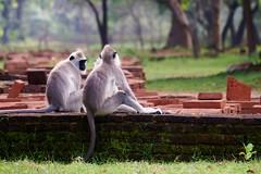 Polonnaruwa - Entelles gris 2 (luco*) Tags: gris monkey ruins sri lanka langur singe ruines polonnaruwa priam semnopithecus entelle