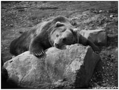 Siesta (Nordtegn) Tags: bear bw white black monochrome zoo noir nap zoom zwartwit nb siesta sw monochrom schwarzweiss blanc gelsenkirchen bär ours zw sieste ruhe gelassenheit schläfchen
