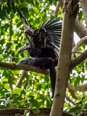 211-1 (craigchaddock) Tags: west african mating sandiegozoo hornbill longtailed whitecrestedhornbill tropicranusalbocristatus scrippsaviary birdsmating matingbirds westafricanlongtailedhornbill