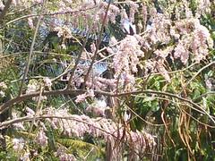 Gliricidia sepium  (Gliricidia maculata) - Mexican lilac - Mother of cocoa -Quickstick - Seemai agathi - Seema konna - Madri - Saranga - Gobbarda mara (  - Shnti Dhma) Tags: life flowers trees india leaves karnataka treeplanting reforestation madri afforestation hesaraghatta saranga shanthidhama flowersofindia gobbardamara mexicanlilac motherofcocoa quickstick seemakonna seemaiagathi treesofbangalore treesofindia sonnenahalli doddaballapura shantidhama challahalli wwwshantidhamain karlapura chellahalli flowersofbangalore haniyuru haniyoor letsintegrageforenvironment gliricidiasepiumgliricidiamaculata httpletsintegrateforenvironmentblogspotin