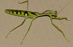 Zebra Mantis (Omomantis zebrata) (berniedup) Tags: southafrica kruger lowersabie omomantiszebrata taxonomy:binomial=omomantiszebrata zebramantis