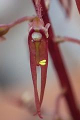 Neottia bifolia (formerly Listera australis ) (Southern Twayblade orchid) (jimf_29605) Tags: orchids southcarolina olympus wildflowers tg3 charlestoncounty francismarionnationalforest berkeleycounty listeraaustralis southerntwaybladeorchid neottiabifolia